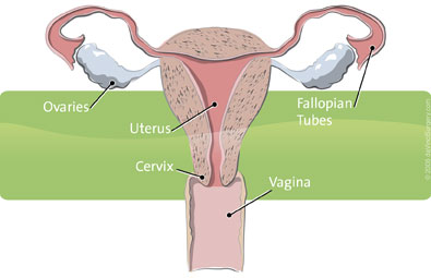 uterus-healthy-395x255